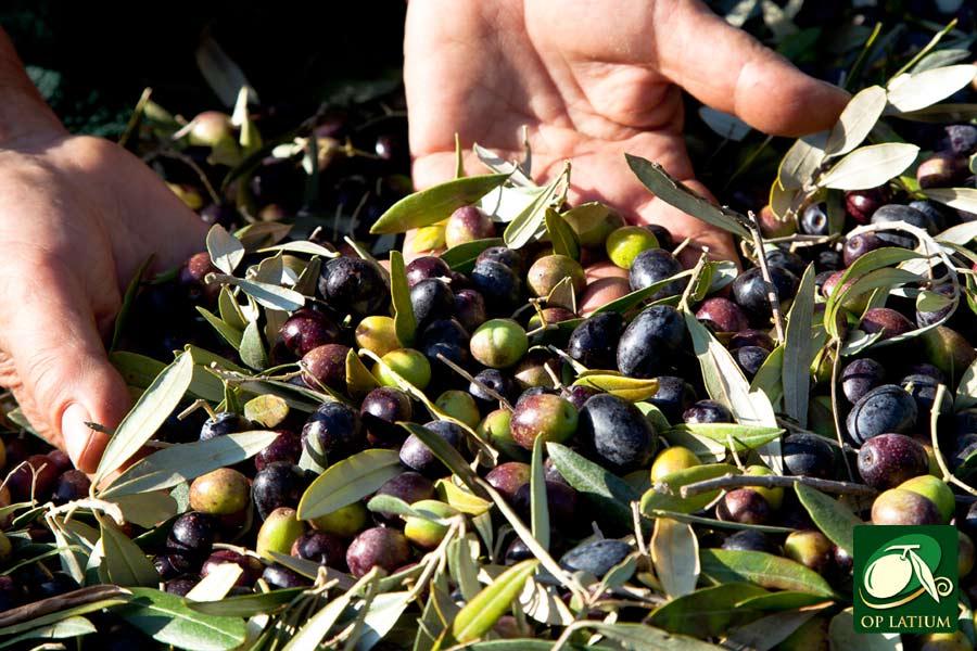 Monitoraggio ambiente competitivit e qualit progetti op latium - Tipi di olive da tavola ...