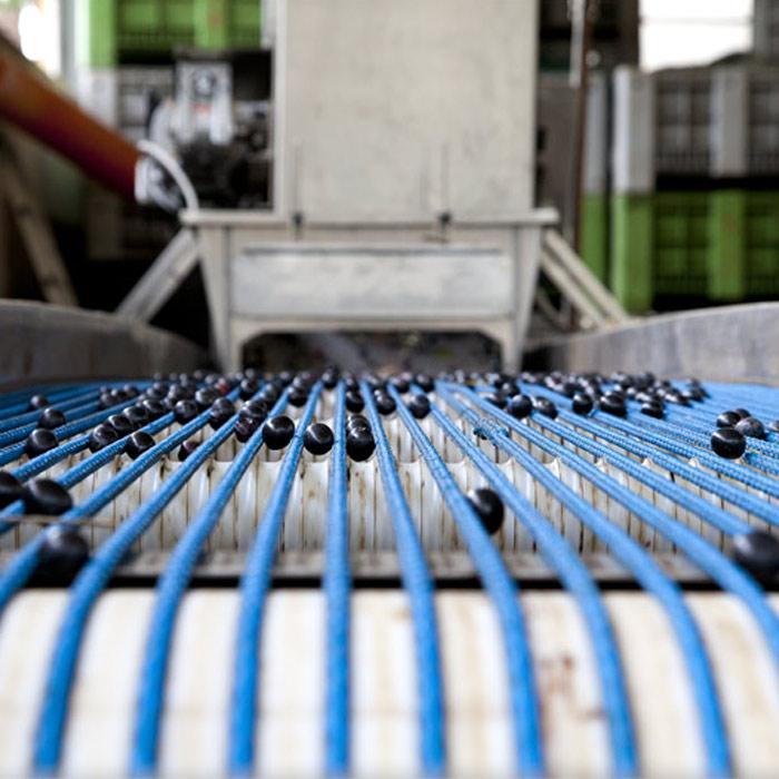 Calibratura e acquisto di oliva da mensa Leccino e Itrana