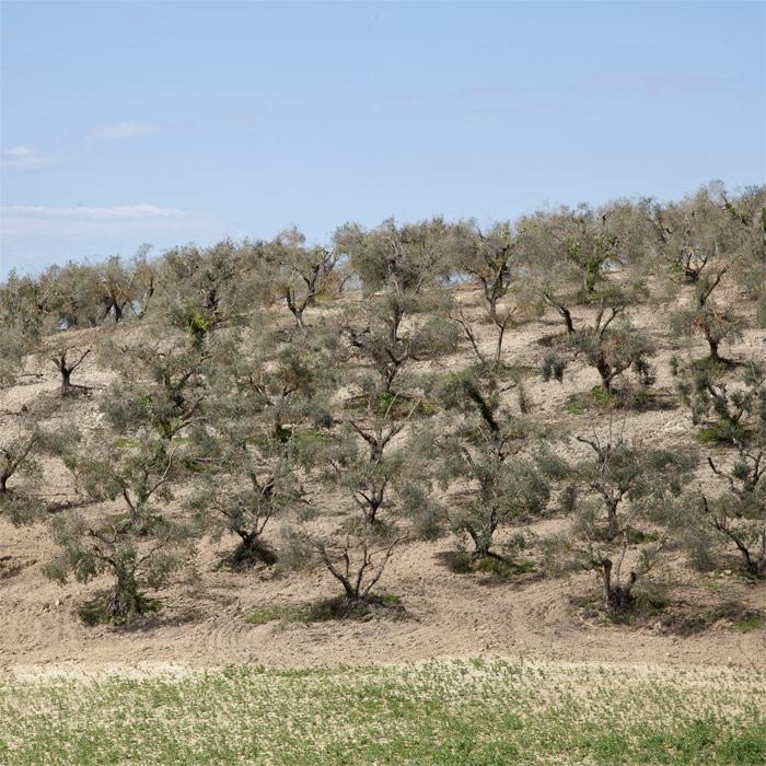 Potatura oliveti