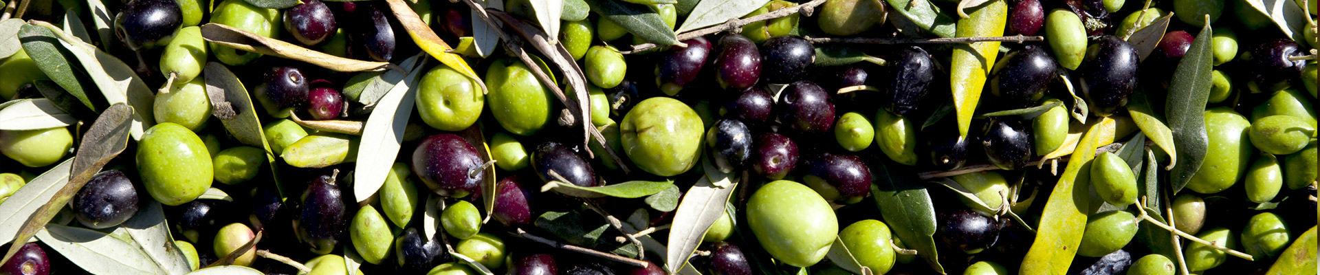 The ancient tradition for olive growing in Rome