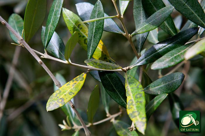 Bollettino fitopatologico quindicinale n 01 2015 for Acquisto piante olivo