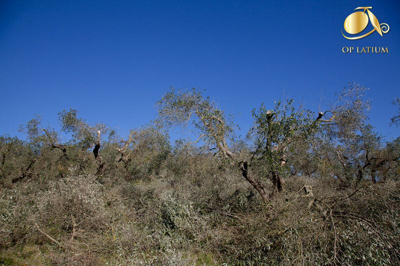 Le chiome degli olivi riportate ad un'altezza idonea, subito dopo l'intervento di recupero