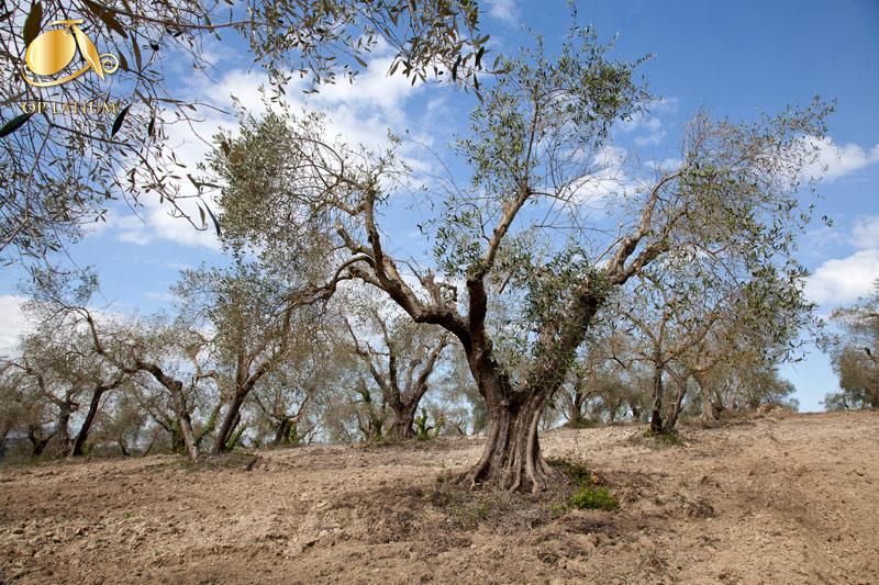 L'oliveto interamente recuperato alcuni mesi dopo l'intervento
