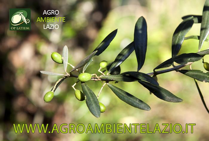 Disponibili da oggi i primi bollettini di avviso fitosanitari per la lotta guidata alla MOSCA DELL'OLIVO