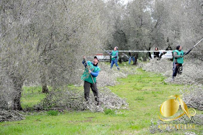 Potatura dell'olivo:  tanti corsi  e un campionato per diffondere nel Lazio la conoscenza di una pratica agronomica essenziale
