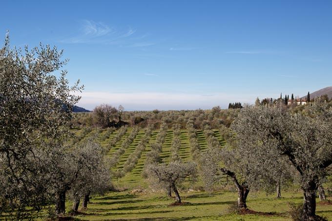 80 mila ettari di oliveti nel Lazio a rischio abbandono senza programmazione e stanziamenti