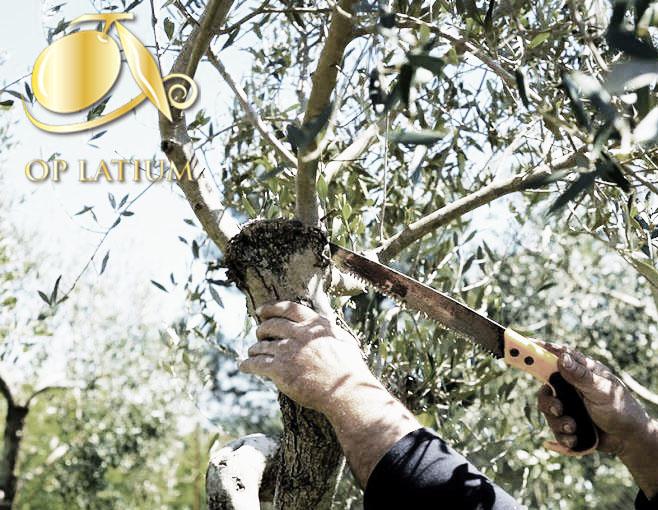 Corso Base di Potatura dell'Olivo a Vaso Policonico Palombara Sabina -RM-