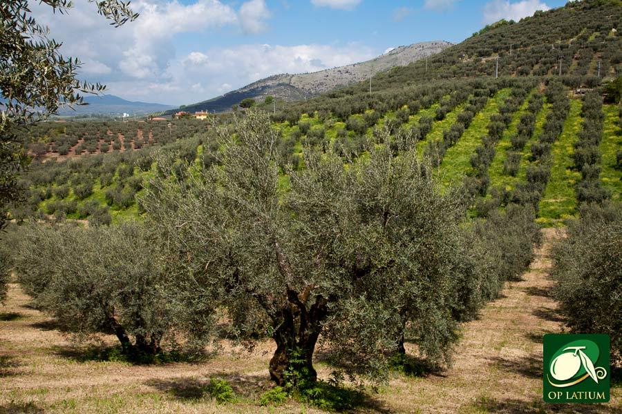 Miglioramento dell'impatto ambientale dell'olivicoltura