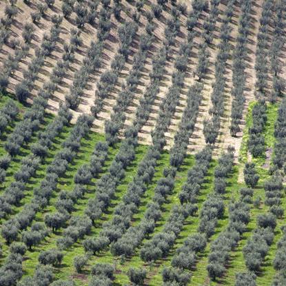 Progettazione e realizzazione nuovi impianti olivicoli