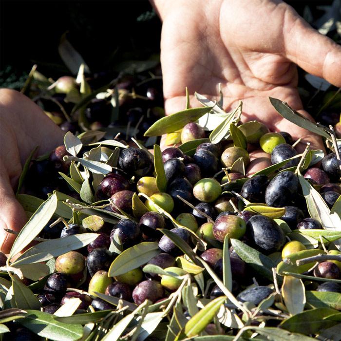 Trasporto olive in frantoio