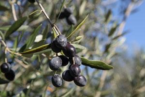 Seminario su potatura e concimazione delle olive da mensa
