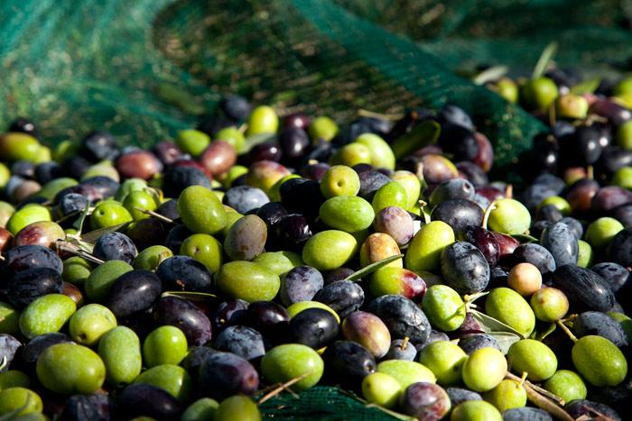 La raccolta delle olive per la produzione dell'olio