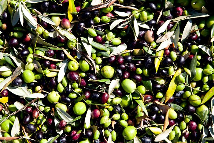 Le principali cultivar di olive del Lazio