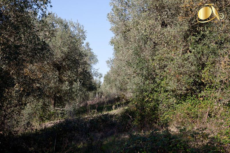 Infestanti e sviluppo abnorme delle chiome nell'oliveto abbandonato, prima dell'intervento di recupero