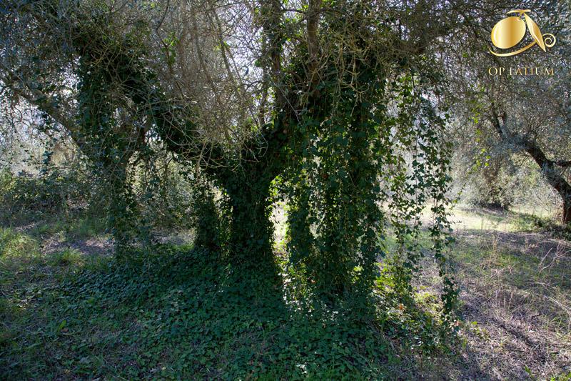 Edera che arrampicandosi lungo la chioma sta soffocando un olivo prima dell'intervento di recupero