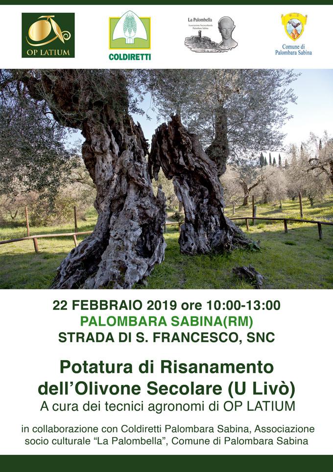Potatura di risanamento dell'Olivone millenario di Palombara Sabina a cura di OP LATIUM